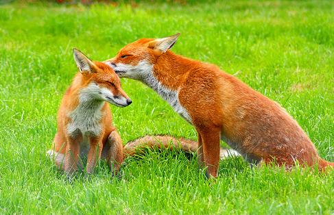 Foxwhisperer